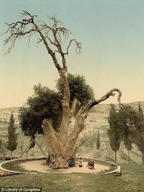 Ibrahimovo drvo u blizini Hebrona, gdje i dan danas stoji.