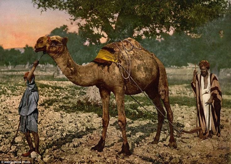 Palestinski radnici sa kamilom.