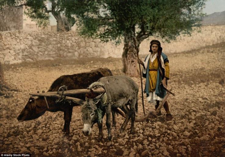 Palestinac sa upregnutim volom i magarcem na farmi, ca. 1895.